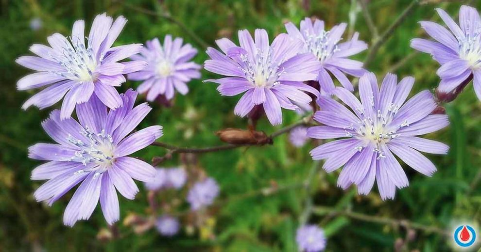 Use Chicory Root to Stabilize Your Blood Sugar Levels If You Have Type 2 Diabetes