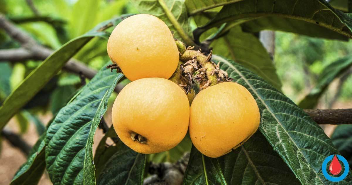 The Incredible Health Benefits of Loquat Leaf Tea