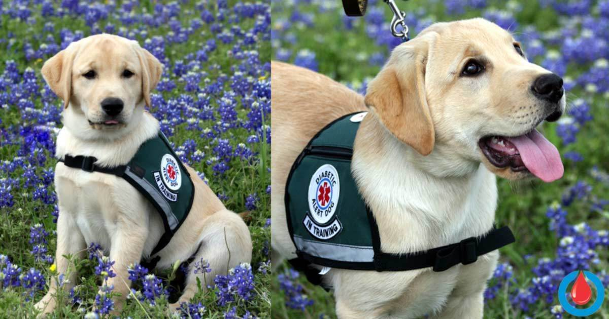 What Are Diabetic Alert Dogs and Can They Sniff Out Low Blood Sugar