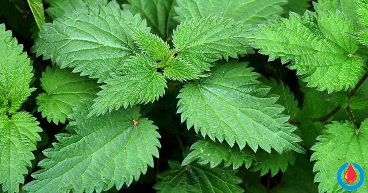 The Effects of Stinging Nettle on Blood Sugar Levels