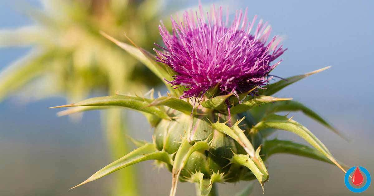 How Can Milk Thistle Help Control Blood Sugar Levels