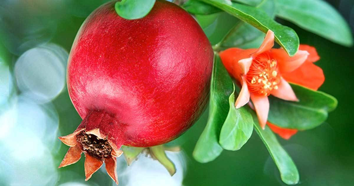Can You Use Pomegranate Flowers to Balance Your Blood Sugar Levels