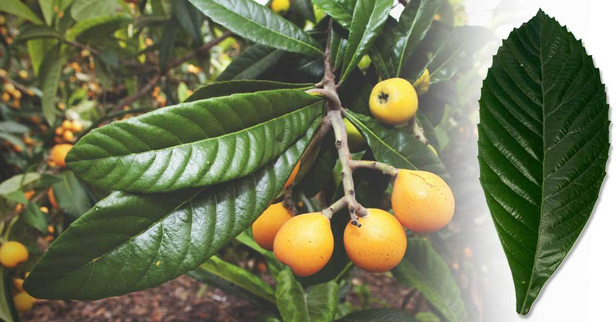 Surprising Health Benefits of Loquat Leaf Tea