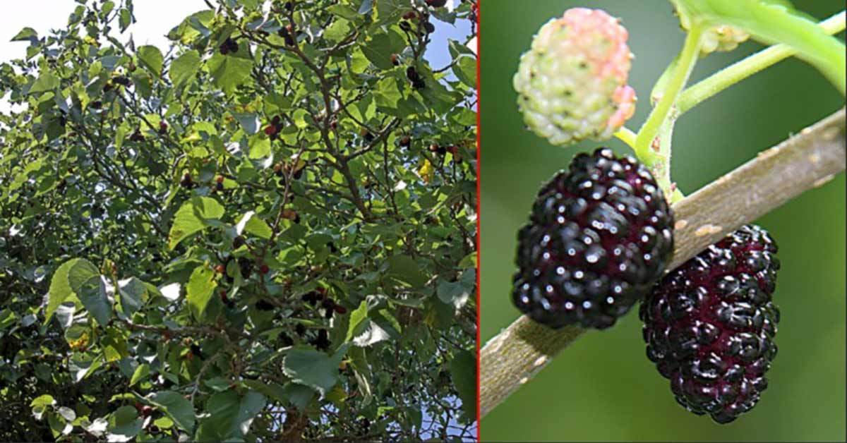 People with High Blood Sugar Or Diabetes Need To Know About This Little Black Berry